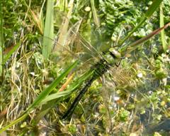 Emperor Dragonfly On Scobbiscombe Pond