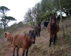 Ponies Grazing At Wembury